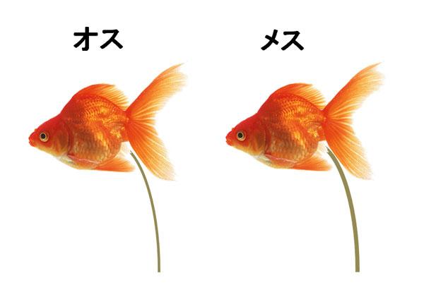 金魚の雄とメスの糞の太さの違い