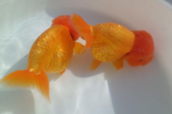 金魚のメス