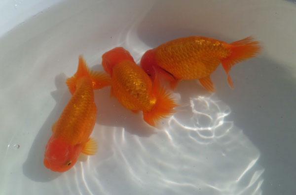 金魚のオス
