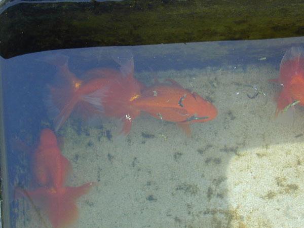 金魚の繁殖期の追跡行動