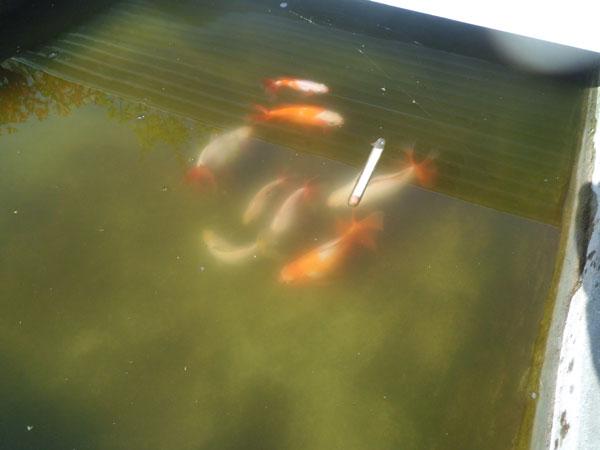 冬越しが終わった金魚