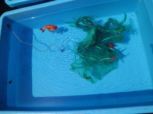 産卵のためにプラ舟に入れられたメス親