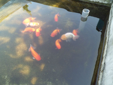 たたき池で飼育されているらんちゅう