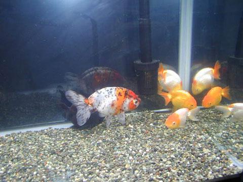 水槽飼育している金魚