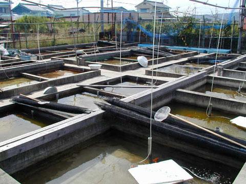 金魚の養魚場