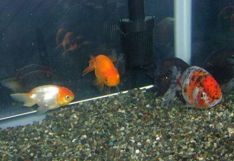 色々な種類の金魚が入っている水槽