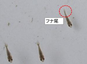 フナ尾のらんちゅうの稚魚